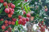 image of orchard  - fresh lychee on tree in lychee orchard - JPG
