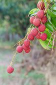 stock photo of orchard  - fresh lychee on tree in lychee orchard - JPG