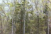 stock photo of conifers  - White Birch and Conifer Trees at Fort Point State Park - JPG