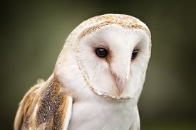 picture of owl eyes  - A Barn Owl Barn Owls are silent predators of the night world - JPG