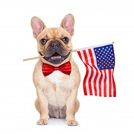 pic of bulldog  - french bulldog holding a flag of usa on independence day on 4th of july with mouth isolated on white background - JPG