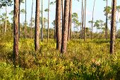 foto of saw-palmetto  - The beautiful pine flatwoods on a sunny day - JPG