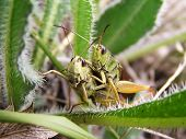 image of whoopees  - Two green grasshoppers in the green grass - JPG