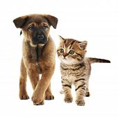 Cute little puppy and adorable tabby kitten together on white background. Animal friendship concept. poster