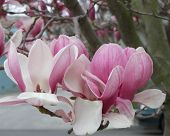 stock photo of japanese magnolia  - Blossoms of the tulip tree also know as the Japanese magnolia - JPG