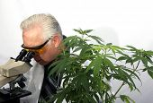 Marijuana Research. A Scientist uses his Microscope to research the Benefits of Marijuana in Medical poster