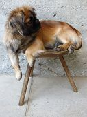 Pekingese Posing On Chair