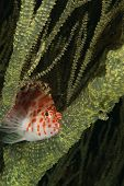 foto of hawkfish  - The view of a spotted hawkfish in between sea plants KwaZulu Natal South Africa - JPG