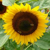 Sunflower And Honey Bees