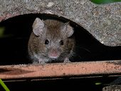 Mouse Feeding In Urban House Garden On Cake. poster