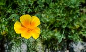 Eschscholzia Californica Subsp. Mexicana In Botany. Close-up poster
