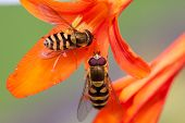 foto of crocosmia  - 2 hoverflies busy feeding on crocosmia trumpets - JPG