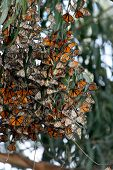 stock photo of monarch butterfly  - Monarch Butterflies gather in large groups during migration to the central coast near Pismo Beach trees provide a tranquil area for the beautiful orange and black dotted with white insect to develop into the next stage of life - JPG