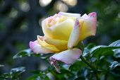 Close Up Of The Beautiful And Delicate Pink And Yellow Blushing Petals Of A Peace Rose In Summertime poster