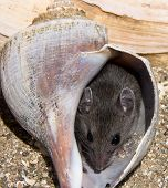 A Very Content Looking Gray Field Mouse Hiding In A Pink Conch Shell On The Beach. There Are Other S poster
