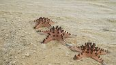 Red Starfish With Spines On Sand Beach. Travel Concept Beach, Sea, Starfish. poster
