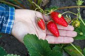 Gardener Is Holding Ripe Strawberries In Hand With Soil On The Background. Top View. Ripe And Unripe poster