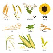 Set Of Isolated Harvest Stems Or Twigs Of Seed Plant. Wheat And Rye, Buckwheat Blossom And Sunflower poster