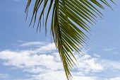 Green Palm Leaf Of Coco Palm Tree On Blue Sky Background. Tropical Nature Photo. Tropical Sky View.  poster