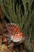 stock photo of hawkfish  - A close up on a spotted hawkfish by sea plants KwaZulu Natal South Africa - JPG