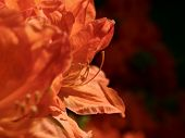 Vireya Rhododendron In Amazing Blossom. Flaming Bright Flower Blooming In Botanical Garden.  Great F poster