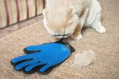 Fluffy Scottish Fold Cream Cat Near Grooming Rubber Blue Glove Combs And Lump Of Cat Hair. Removing  poster