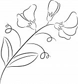 picture of sweet pea  - Illustration of  fresh sweet pea flower - JPG