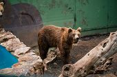 Grizzly Bear Wild, Nature, Wildlife, Brown, Animal Isolated Outdoors Mammal Powerful poster