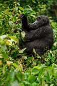 A Black Gorilla Chewing Vegetation In The Wild Deep In The Jungle poster