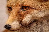 Portrait Of A Stuffed Fox, View In The Eye Of A Fox poster