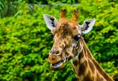 Closeup Of The Face Of A Kordofan Giraffe Chewing, Critically Endangered Animal Specie From Sudan In poster