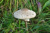 Edible Parasol Mushroom Grows In The Grass Close Up poster