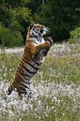 The Siberian Tiger (panthera Tigris Tigris), Or  Amur Tiger (panthera Tigris Altaica) Jumping In The poster