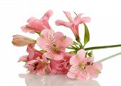 alstroemeria pink flowers isolated on white