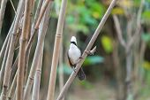 Bird (white-crested Laughingthrush, Garrulax Leucolophus) Brown And White And The Black Mask Perched poster