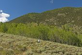 Hiking To A Grove Of Aspen In The Mountains On The Serviceberry Trail In Great Basin National Park I poster