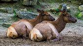 Female Wapiti Couple Sitting Together On The Ground, Tropical Deer Specie From America poster