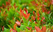 Close Up The Details Of The Plant Shoots Red (syzygium Oleana) With A Blurry Background. This Plant  poster