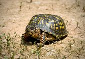 pic of the hare tortoise  - North American box turtle roming on dry arrid ground - JPG