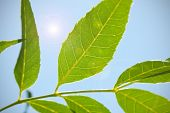 image of green leaves  - green bright leaves on the branch of tree - JPG