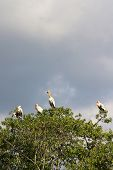 4 Milky Storks, An Endangered Species,  Standing Atop Of Mangrove Trees In Sungei Buloh Nature Reser poster