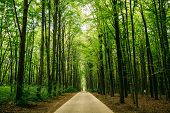 Walkway Lane Path With Through Tilia Cordata Trees In Forest. Beautiful Alley, Road In Park. Pathway poster