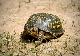 image of the hare tortoise  - North American box turtle roming on dry arrid ground - JPG