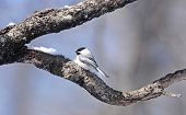 stock photo of chickadee  - Black - JPG