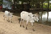 stock photo of zebu  - Zebu cow with calf on a rural road Cambodia - JPG