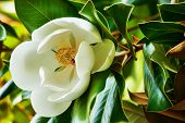 image of magnolia  - blown beautiful magnolia flower on a tree with green leaves - JPG
