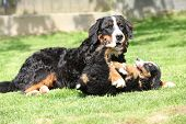 stock photo of bitches  - Bernese Mountain Dog bitch playing with puppy in the garden - JPG