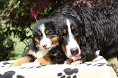 stock photo of bitches  - Bernese Mountain Dog bitch licking puppy in front of dark red leaves - JPG