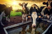 stock photo of dairy cattle  - Herd of young calves drinking water at sunset - JPG