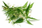 picture of tangerine-tree  - Medicinal neem leaves with flower over white background